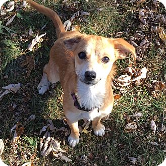 Rat Terrier/Chihuahua Mix Dog for adoption in Baltimore, Maryland - Wombat