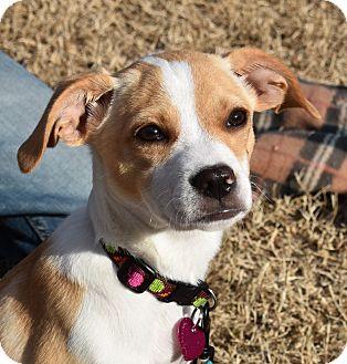 Beagle/Labrador Retriever Mix Puppy for adoption in Eden Prairie, Minnesota - Allie