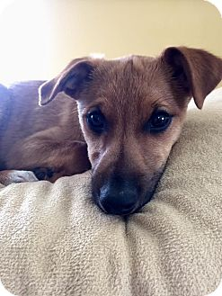 Jack Russell Terrier Mix Puppy for adoption in Salamanca, New York - Wally