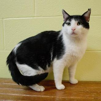 Domestic Shorthair/Domestic Shorthair Mix Cat for adoption in Green Bay, Wisconsin - Brutus