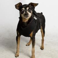 Adopt A Pet :: Anne - Santa Paula, CA