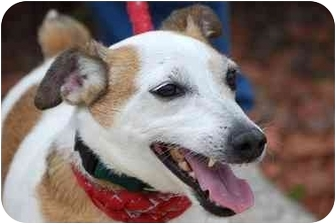 Jack Russell Terrier Dog for adoption in Athens, Ohio - Eddie-UPDATED