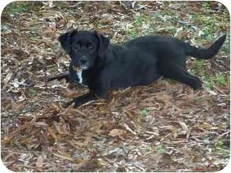 Labrador Retriever Mix Puppy for adoption in Torrington, Connecticut - Candi