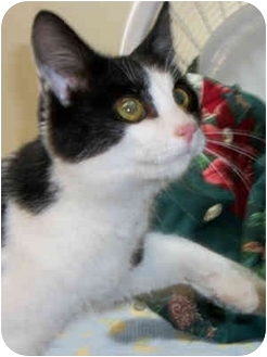 Domestic Shorthair Cat for adoption in Struthers, Ohio - Buzz