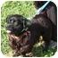 Photo 1 - Pembroke Welsh Corgi/Cocker Spaniel Mix Dog for adoption in Somerset, Pennsylvania - Hank
