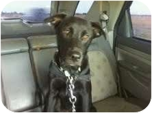 Labrador Retriever Mix Puppy for adoption in Plainfield, Illinois - Buster Black
