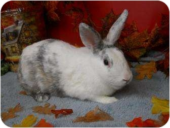 Harlequin Mix for adoption in Roseville, California - Hildy