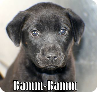 Retriever (Unknown Type) Mix Puppy for adoption in Georgetown, South Carolina - Bamm-Bamm