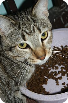 Domestic Shorthair Cat for adoption in Marietta, Georgia - Abbott