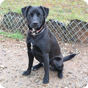 Feist/Labrador Retriever Mix Dog for adoption in Athens, Georgia - Merri