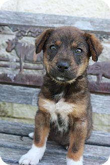German Shepherd Dog/Husky Mix Puppy for adoption in Stilwell, Oklahoma - Mia