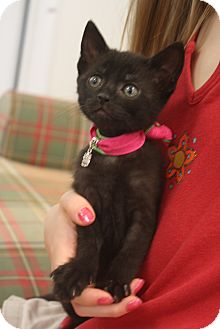 Domestic Shorthair Kitten for adoption in Nashville, Tennessee - Blackie