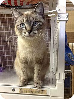 Siamese Cat for adoption in Douglas, Wyoming - Sabel