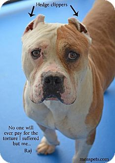 Pit Bull Terrier Mix Dog for adoption in Danielsville, Georgia - Raj
