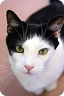 Domestic Shorthair Cat for adoption in Spring Valley, California - Speedy