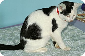 American Shorthair Kitten for adoption in Englewood, Florida - Max