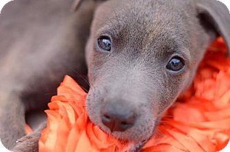 American Pit Bull Terrier/Chihuahua Mix Puppy for adoption in Lincoln, California - Blue Bear