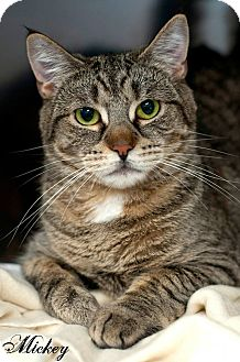Domestic Shorthair Cat for adoption in Manahawkin, New Jersey - Mickey