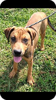 Labrador Retriever/Shepherd (Unknown Type) Mix Dog for adoption in Moosup, Connecticut - AMBER
