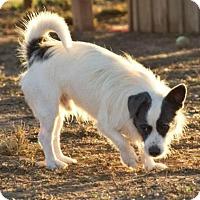 Adopt A Pet :: Chris - Post, TX