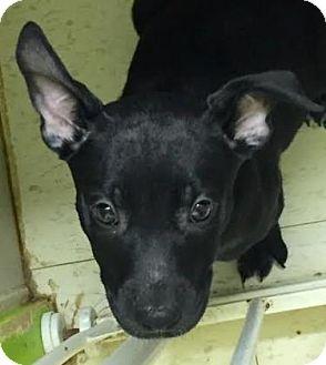 Pit Bull Terrier/Shepherd (Unknown Type) Mix Puppy for adoption in Philadelphia, Pennsylvania - Faith