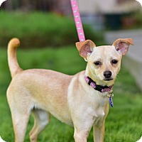 Adopt A Pet :: Chanel - Santa Monica, CA