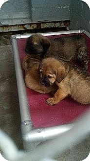 Chow Chow/Labrador Retriever Mix Puppy for adoption in Sandersville, Georgia - 146255 A,B