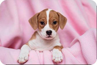 Terrier (Unknown Type, Medium)/Hound (Unknown Type) Mix Puppy for adoption in Elgin, Illinois - Jewel