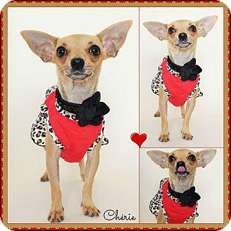 Chihuahua Mix Dog for adoption in PHOENIX, Arizona - Chérie