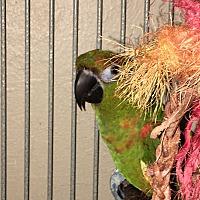 Adopt A Pet :: Trabella - Punta Gorda, FL