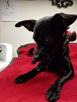 Terrier (Unknown Type, Small)/Chihuahua Mix Puppy for adoption in Riverside, California - Coal