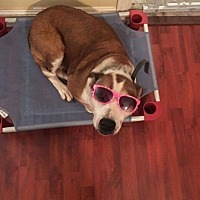Beagle/American Pit Bull Terrier Mix Dog for adoption in DeForest, Wisconsin - Della