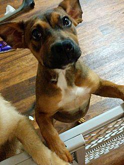 Boxer/Labrador Retriever Mix Puppy for adoption in Oceanside, California - Molly