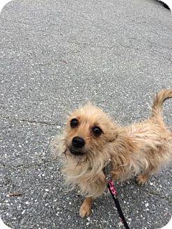 Chihuahua/Shih Tzu Mix Dog for adoption in Lowell, Massachusetts - Merida