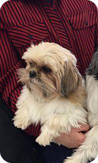 Shih Tzu Dog for adoption in Holland, Michigan - Tea