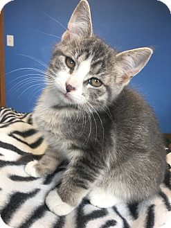 Domestic Shorthair Kitten for adoption in Brookings, South Dakota - Andy