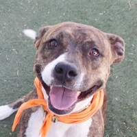 Adopt A Pet :: *TIGRESS - Las Vegas, NV