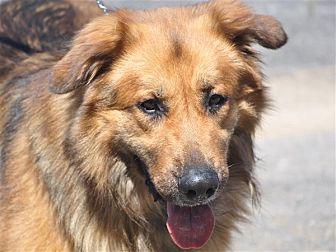 German Shepherd Dog/St. Bernard Mix Dog for adoption in Osage Beach, Missouri - Benjamin