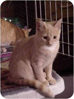 Domestic Shorthair Cat for adoption in Chesapeake, Virginia - Lily