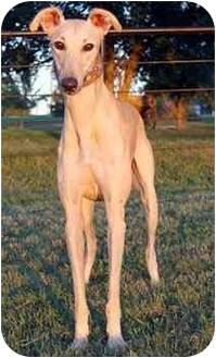 Greyhound Dog for adoption in Dallas, Texas - Thornton