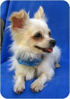 Chihuahua/Pomeranian Mix Dog for adoption in Irvine, California - Bronson - 5 lbs
