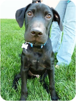 Labrador Retriever/Mastiff Mix Puppy for adoption in Detroit, Michigan - Timmy-Pending
