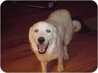 Great Pyrenees Dog for adoption in San Angelo, Texas - Andor
