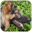 Photo 2 - German Shepherd Dog Dog for adoption in Los Angeles, California - Strauss von Steinbeck