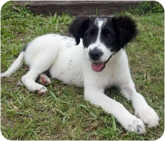 Border Collie Mix Puppy for adoption in Largo, Florida - Bo