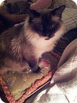 Ragdoll Cat for adoption in Columbus, Ohio - Smokey Klaus