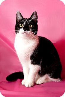Domestic Shorthair Cat for adoption in Brooklyn, New York - Lisa