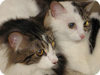 Domestic Mediumhair Cat for adoption in Pinehurst, North Carolina - Primrose & Piper