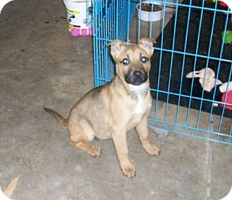 German Shepherd Dog/Labrador Retriever Mix Puppy for adoption in Liberty Center, Ohio - Tessa