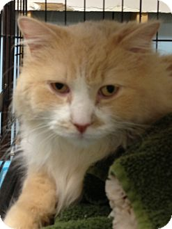 Maine Coon Cat for adoption in Monroe, Georgia - Coco
